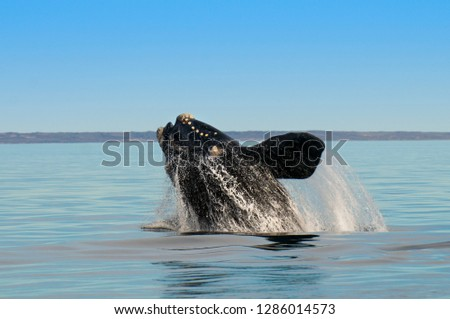 Southern right whale,jumping behavior, Puerto Madryn, Patagonia, #1286014573