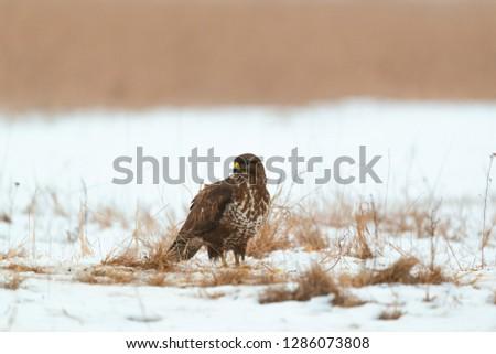 Common buzzard buteo buteo on winter field #1286073808
