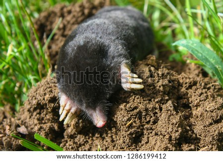 European mole (Talpa europaea) is a mammal of the order Eulipotyphla. It is also known as the common mole and the northern mole. #1286199412