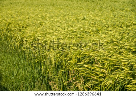 Cereal field in spring time #1286396641