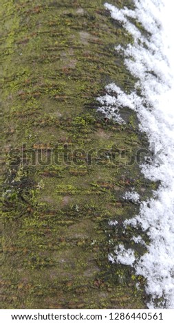 Old tree bark texture with snow spots and moss #1286440561