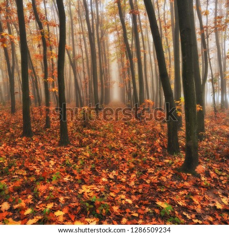 autumn forest. foggy morning in the fairy forest. picturesque morning #1286509234