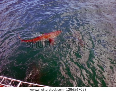 Copper sharks at the surface, in front of a shark cage, in Kleinbaai, outside Gansbaai, South Africa #1286567059