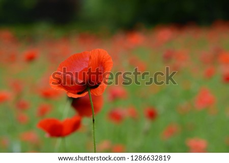 Red Poppy flowers in the field #1286632819