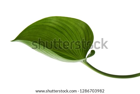 Cardwell lily leaf, Green circular leaves isolated on white background, with clipping path                                                 #1286703982