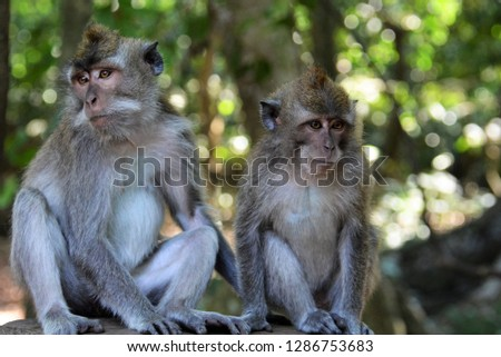 Balinese long-tailed monkeys in the Sacred Monkey Forest Sanctuary (Ubud Monkey Forest) in Bali, Indonesia. #1286753683