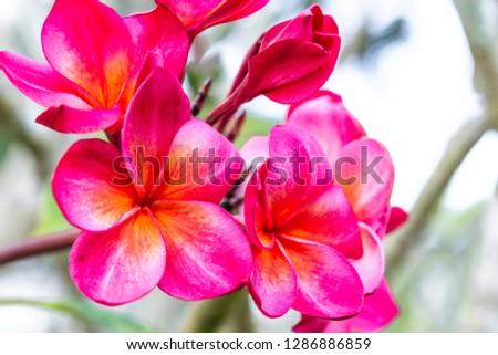 Beautiful pink frangipani flower blurred nature background #1286886859