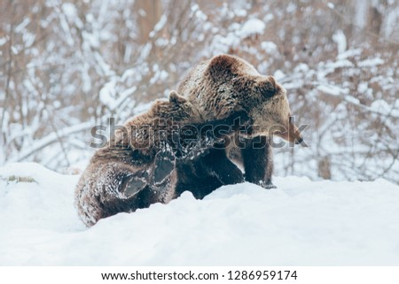 Two beautiful Carpathian brown bear cubs playing in snow.  #1286959174