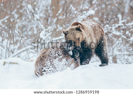 Two beautiful Carpathian brown bear cubs playing in snow.  #1286959198