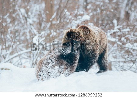 Two beautiful Carpathian brown bear cubs playing in snow.  #1286959252