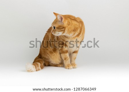 A Beautiful Domestic Orange Striped cat sitting in strange, weird, funny position. Animal portrait against white background. Russet Tail Bristling #1287066349