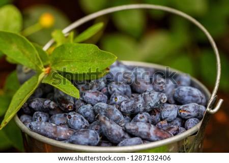 Honeysuckle raw berries in bowl. Blue honeysuckle (Lonicera caerulea edulis, Honeyberry, Blue-berry honeysuckle, Sweetberry & Haskap berry. Ripe organic honeyberry harvest from berry farm in Finland #1287132406