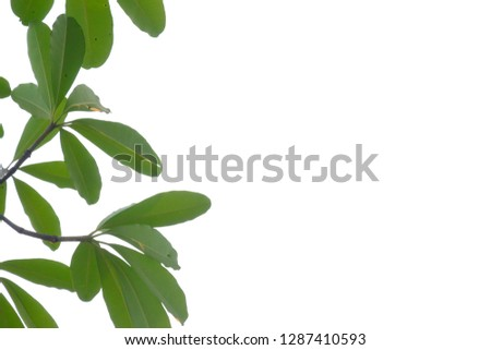 Tropical tree leaves with branches on white isolated background for green foliage backdrop  #1287410593