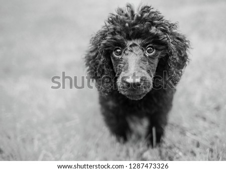 Close up of cute  poodle puppy in black and white #1287473326