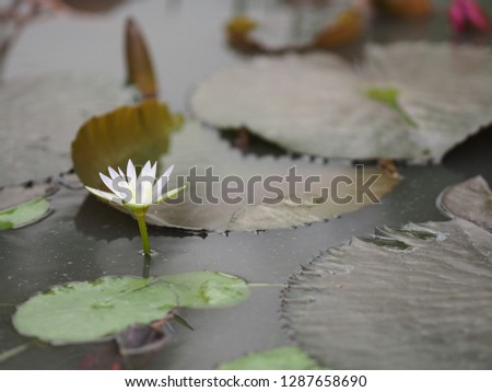 White Lotus leaf with sharp notches Nymphaea lotus NYMPHAEACEAE water lily #1287658690