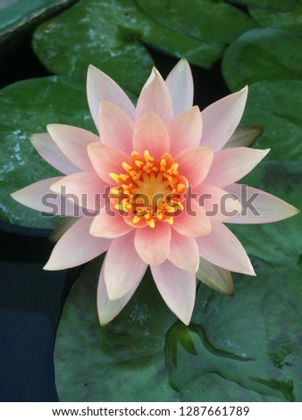 Pink lotus with green leaf #1287661789