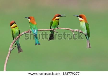 Group of Chestnut-headed Bee-eater #128779277