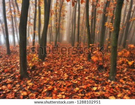 autumn forest. foggy morning in the fairy forest. picturesque morning  #1288102951