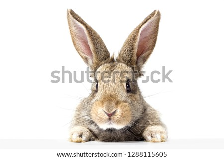 gray fluffy rabbit looking at the signboard. Isolated on white background. Easter bunny #1288115605