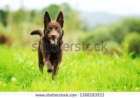 Running dog through meadow. Australian kelpie.  #1288183921