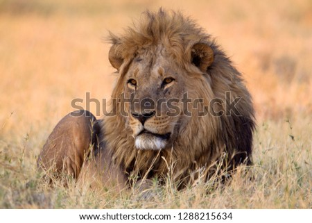 African lion (Panthera Leo), male, Savuti, Chobe National Park, Botswana.