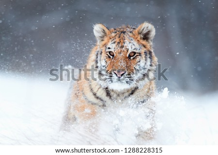 Close up Siberian tiger, Panthera tigris altaica, young male in snowy, freezing cold, walking directly at camera in deep snow. Tiger in natural taiga environment, winter. Big cat in winter forest. #1288228315