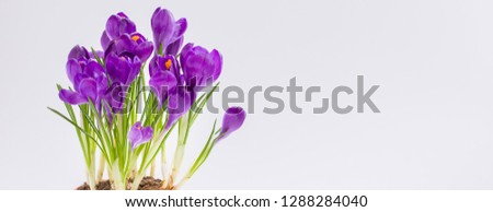 Violet Crocus. Isolated. Spring or Easter postcard concept. #1288284040