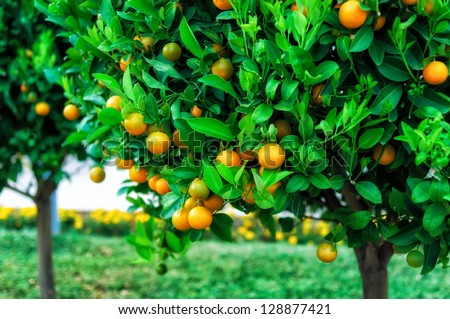 Branches with the fruits of the tangerine trees, Montenegro #128877421