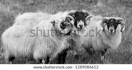 Scottish blackface sheeps in the Scottish highlands #1289086612