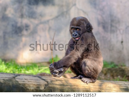 Young, Juvenile Male Silverback Western Lowland gorilla, (Gorilla gorilla gorilla) playing and smiling #1289112517