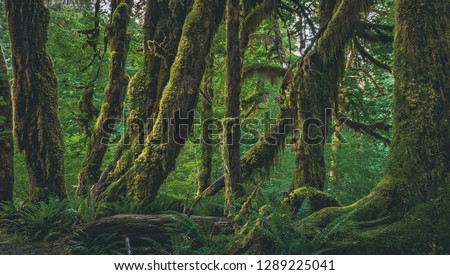 Spikemoss clings to the trunks of Broadleaf Maple trees on the Hall of Mosses Trail in the Hoh Rainforest, part of Olympic National Park on the  Peninsula of western Washington State, United States. #1289225041