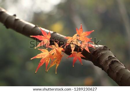 Autumn red paulownia leaves closeup #1289230627