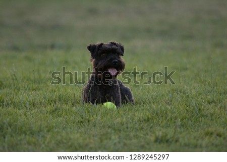 Little black dog sitting on a grassy lawn with a tennis ball. #1289245297