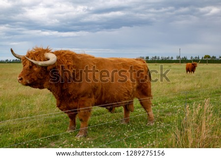 A large hairy highland bull in a field of other highland cattle in Canterbury, New Zealand #1289275156