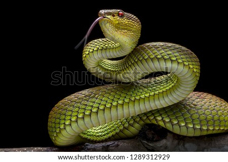 Green Goldy Skin Viper Snake 2001027 - Exotic Reptile Animal Photo Collection #1289312929