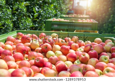 Food farm industry. Harvesting apple fruit in green orchard. Pile of freshly harvested organic apples. Healthy eating concept. #1289378953
