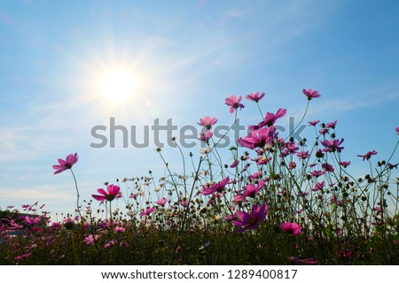 Pink Cosmos flowers #1289400817