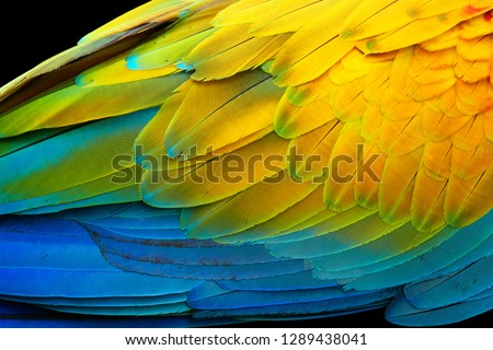 Vivid, intensive blue and yellow colored feather structure of large amazonian Scarlet Macaw parrot, Ara macao.  Wildlife photography, Costa rica. #1289438041