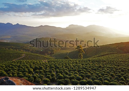 coffee crop arabica, at sunset in the mountains east of the state of minas gerais Brazil, largest producer of coffee on the planet #1289534947