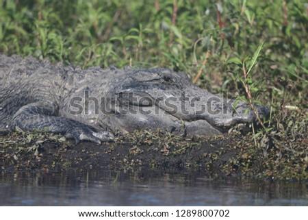 Alligator Mayakka State Park #1289800702