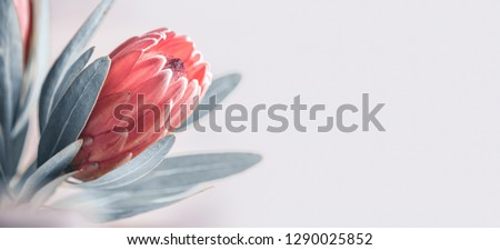 Protea flowers bunch. Blooming Pink King Protea Plant over grey background. Extreme closeup. Holiday gift, bouquet, buds. One Beautiful fashion flower macro shot. Valentine's Day gift #1290025852