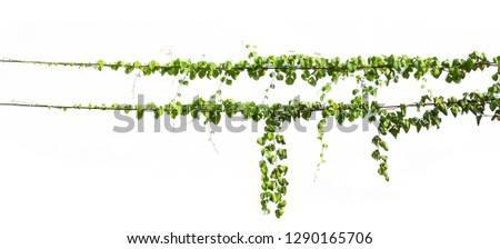 ivy plant hanging on electric wire isolate white background #1290165706