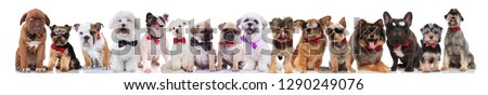 team of many cute dogs of different breeds wearing bowties and sunglasses standing, sitting and lying on white background #1290249076