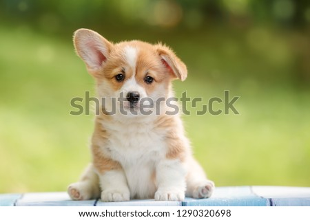 cute puppy Pembroke Welsh Corgi with one ear standing up outdoor in summer park Royalty-Free Stock Photo #1290320698