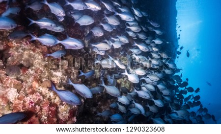Blue Maomao fish swimming in Blue Maomao Arch, Poor Knight, New Zealand Royalty-Free Stock Photo #1290323608