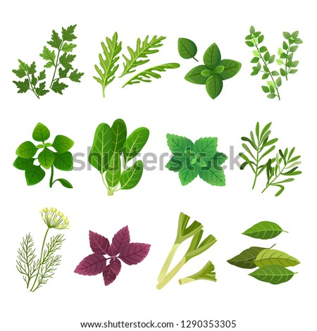 Herbs and spices. Oregano green basil mint spinach coriander parsley dill and thyme. Aromatic food herb and spice vector isolated set #1290353305