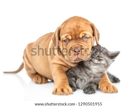 Cute bordeaux puppy hugging kitten. isolated on white background #1290501955