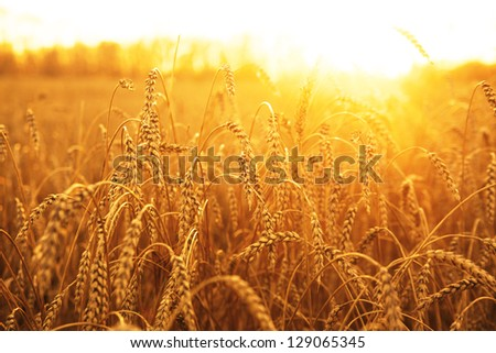 backdrop of ripening ears of yellow wheat field on the sunset cloudy orange sky background Copy space of the setting sun rays on horizon in rural meadow Close up nature photo  Idea of a rich harvest #129065345
