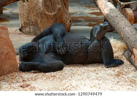Funny happy lazy black gorilla relaxing in zoo. Lazy monkey gorilla laying & have fun. Monkey gorilla lazy funny put leg on leg happy resting on lunch siesta. Big gorilla monkey happy animal slipping #1290749479