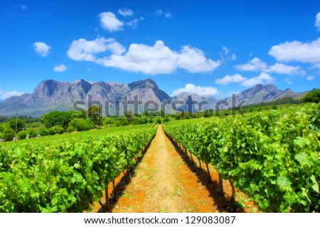 Vineyards against awesome mountains. Shot near Cape Town, Western Cape, South Africa Royalty-Free Stock Photo #129083087